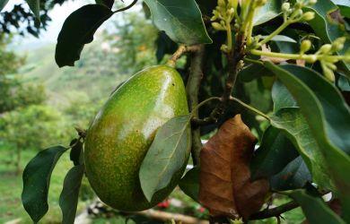 Avocadoöl wirkt rückfettend