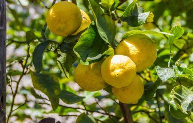 Ätherisches Lemongrassöl