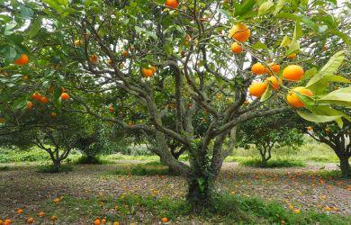 reines ätherisches Öl von Orangen